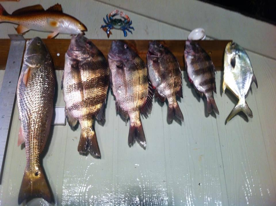 Sheepshead fishing gulf shores al orange beach al for Sheepshead fish florida