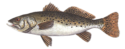 SpeckleTrout